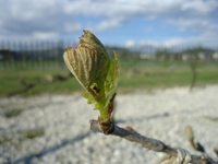 Buds and flower buds of Grapes