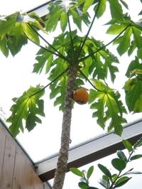 Harvesting the Papayas