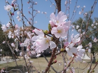 Cherry blossom bloomed